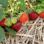 strawberryfruit