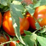 tomatoes.v2
