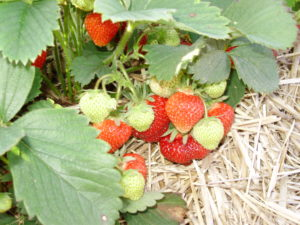 Strawberries are starting to ripen.